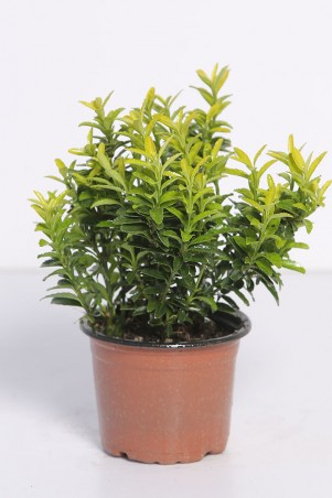 Euonymus japonicus  'Microphyllus micro gold'