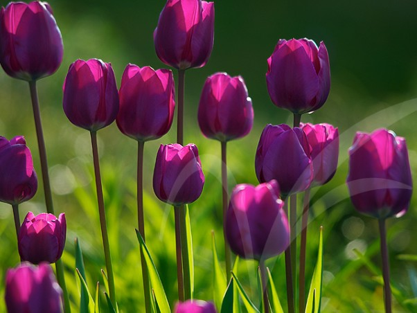LALE (mor) - TULIP (purple)