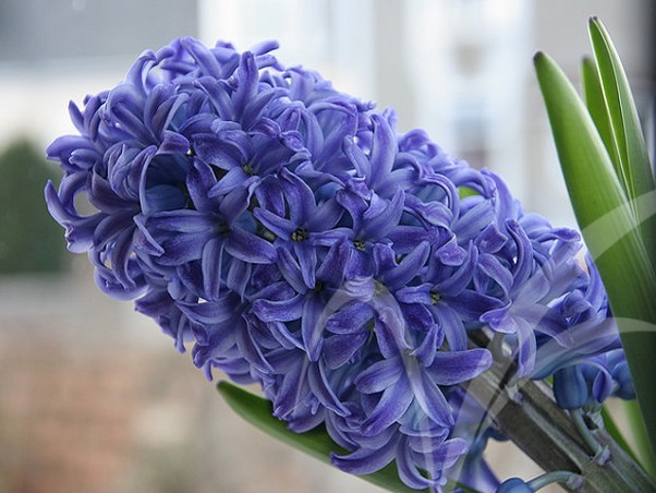 Sümbül (Mor) - Hyacinth (Purple)